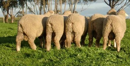 Hannaton 2012 Hamilton Sheepvention Sale Team