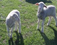 Hannaton Poll Merino Lambs from maiden ewes